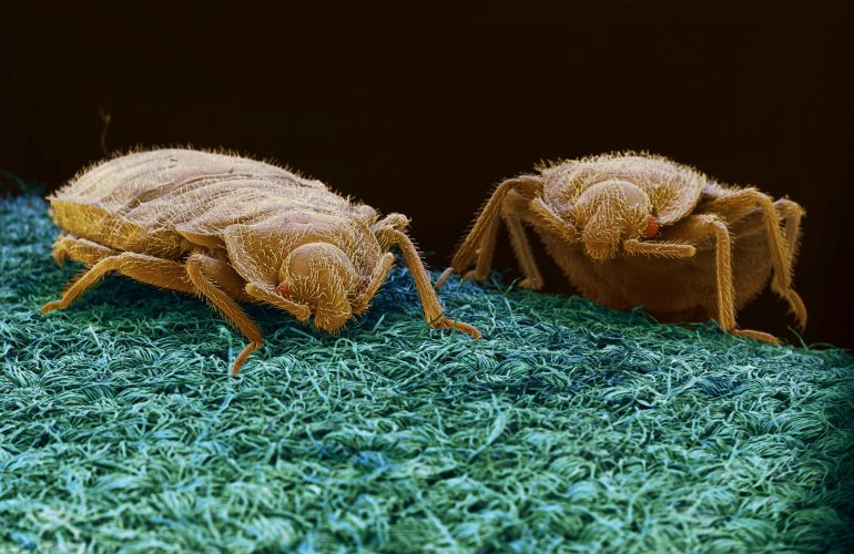 Tahta Kurusu (Bed Bugs) Tanıyalım