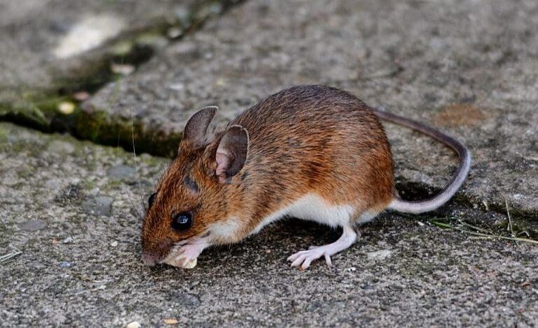 Bahçemde Fare/Sıçan Görüyorum, Evime Girer mi?